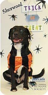 Labrador Retriever Mix Dog for adoption in Covington, Louisiana - Sherwood