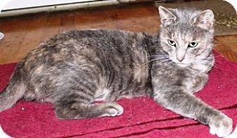 Domestic Shorthair Cat for adoption in Lebanon, Pennsylvania - Catherine