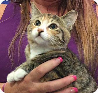 Calico Kitten for adoption in Oviedo, Florida - Socks
