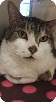Domestic Shorthair Cat for adoption in Joplin, Missouri - Mingus 5264
