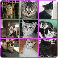 Adopt A Pet :: Kittens - Essington, PA