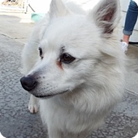 Adopt A Pet :: Snowball - Grants Pass, OR