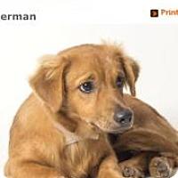 Adopt A Pet :: Sherman - Rowayton, CT