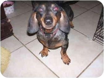 Dachshund Dog for adoption in SCOTTSDALE, Arizona - ELVIS