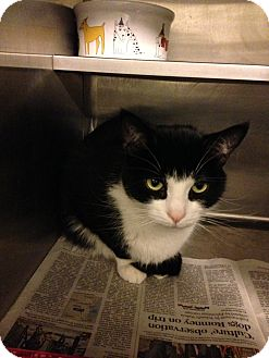 Domestic Shorthair Cat for adoption in Lombard, Illinois - Slapshot