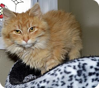 Domestic Longhair Cat for adoption in Xenia, Ohio - Buttercup