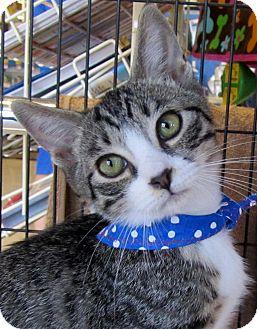 Domestic Shorthair Kitten for adoption in Seminole, Florida - Norman