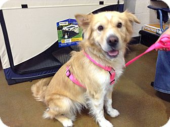 Golden Retriever/Shar Pei Mix Dog for adoption in Scottsdale, Arizona - Coco