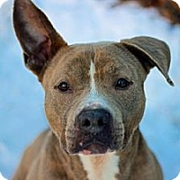 American Pit Bull Terrier Dog for adoption in Port Washington, New York - Zeus