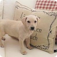 Adopt A Pet :: Baby Vienna - Marlton, NJ