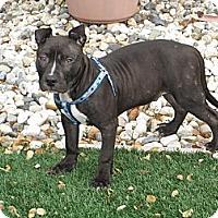 Adopt A Pet :: Maddox URGENT! NEEDS FOSTER - Lafayette, CA