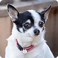Adopt A Pet :: Tiny Shannon (4 pounds) - Toluca Lake, CA