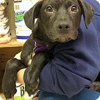 Adopt A Pet :: Goosie - Rockville, MD