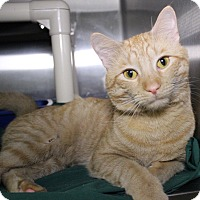 Adopt A Pet :: Cheeto - Middletown, CT