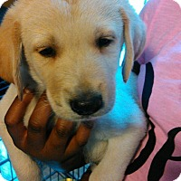 Adopt A Pet :: Diesel - Waldorf, MD