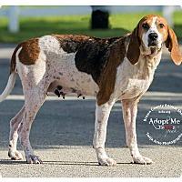 Adopt A Pet :: Mansi - Georgetown, OH