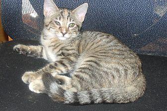 Domestic Shorthair Kitten for adoption in Acme, Pennsylvania - BLISS