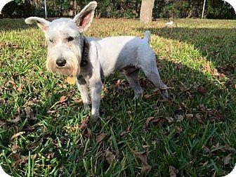 Standard Schnauzer Dog for adoption in Spring, Texas - Bobo