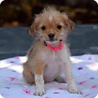 Adopt A Pet :: Gertrude McFuzz - Sacramento, CA