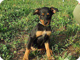 Miniature Pinscher Mix Puppy for adoption in Pennigton, New Jersey - Elena