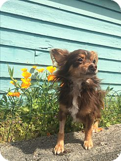 Chihuahua Mix Dog for adoption in Seattle, Washington - Tyson