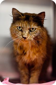 Maine Coon Cat for adoption in Columbia, Tennessee - Ashanti