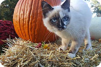 Siamese Kitten for adoption in Oakland, Michigan - Princess