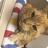 Adopt A Pet :: Costello - Indianapolis, IN