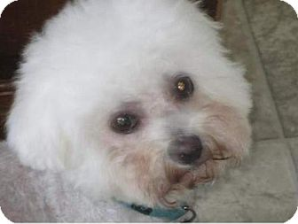 Bichon Frise/Maltese Mix Dog for adoption in Suffolk, Virginia - Piper