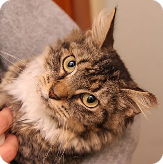 Domestic Mediumhair Cat for adoption in Brimfield, Massachusetts - Ava