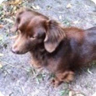 Dachshund Dog for adoption in Houston, Texas - Buddy Biplane