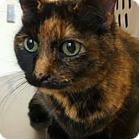 Domestic Shorthair Cat for adoption in Rochester, Michigan - Turtle