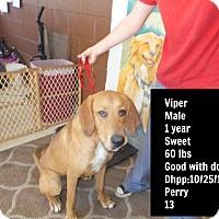 Adopt A Pet :: Viper (Foster needed!) - Chicago, IL