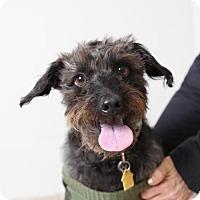 Adopt A Pet :: Atticus D150310 - Edina, MN