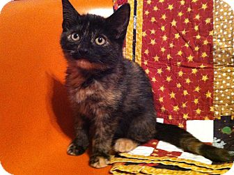 Domestic Shorthair Kitten for adoption in Chicago, Illinois - Rosie