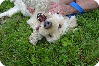Cockapoo Dog for adoption in East Smithfield, Pennsylvania - Jonas