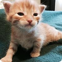 Adopt A Pet :: Veronika - Edmonton, AB