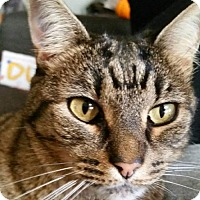 Domestic Shorthair Cat for adoption in Longview, Washington - Vanessa