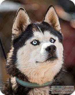 Siberian Husky Dog for adoption in Cedar Crest, New Mexico - Tuktu