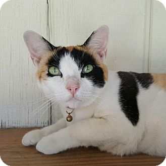 Domestic Mediumhair Cat for adoption in Yucaipa, California - Starbuck