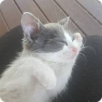 Domestic Shorthair Kitten for adoption in McMinnville, Tennessee - Phelix