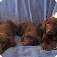 Adopt A Pet :: CHOCOLATE LABS 9 WKS - WOODSFIELD, OH