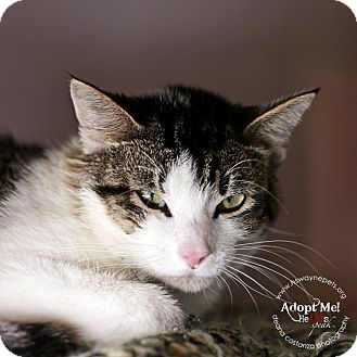 Domestic Shorthair Cat for adoption in Lyons, New York - Wyatt