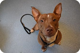 Pit Bull Terrier Mix Dog for adoption in Bay Shore, New York - Juliet