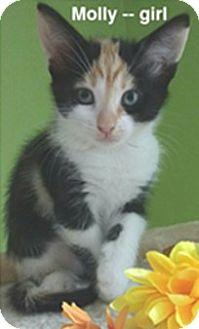 Domestic Shorthair Kitten for adoption in Atlanta, Georgia - Molly