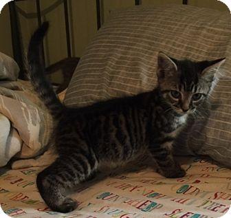 Domestic Shorthair Kitten for adoption in Berkeley Hts, New Jersey - Jessie