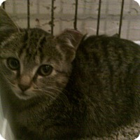 Adopt A Pet :: Manx - Tiger Feral - Alliance, OH