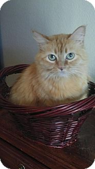 Domestic Longhair Cat for adoption in Scottsdale, Arizona - Emma