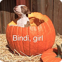 Adopt A Pet :: Bindi - Sonoma, CA