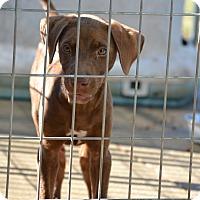 Adopt A Pet :: Darcy - Springfield, VA
